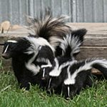 skunk and skunk smell