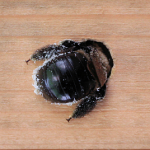 carpenter-bee-wood